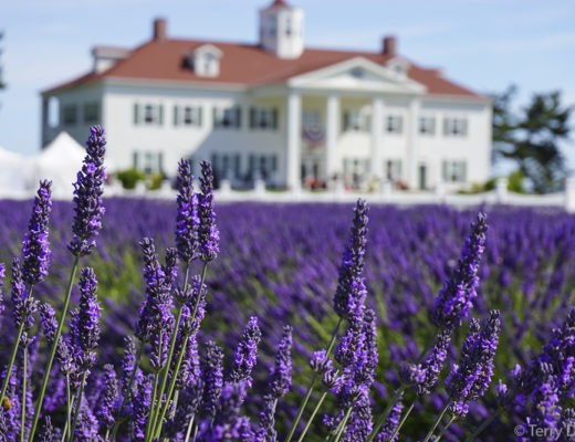 Sequim Washington Lavender