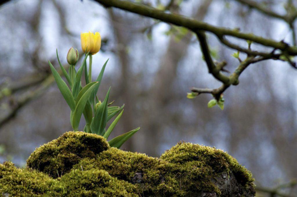 Tulip in a tree