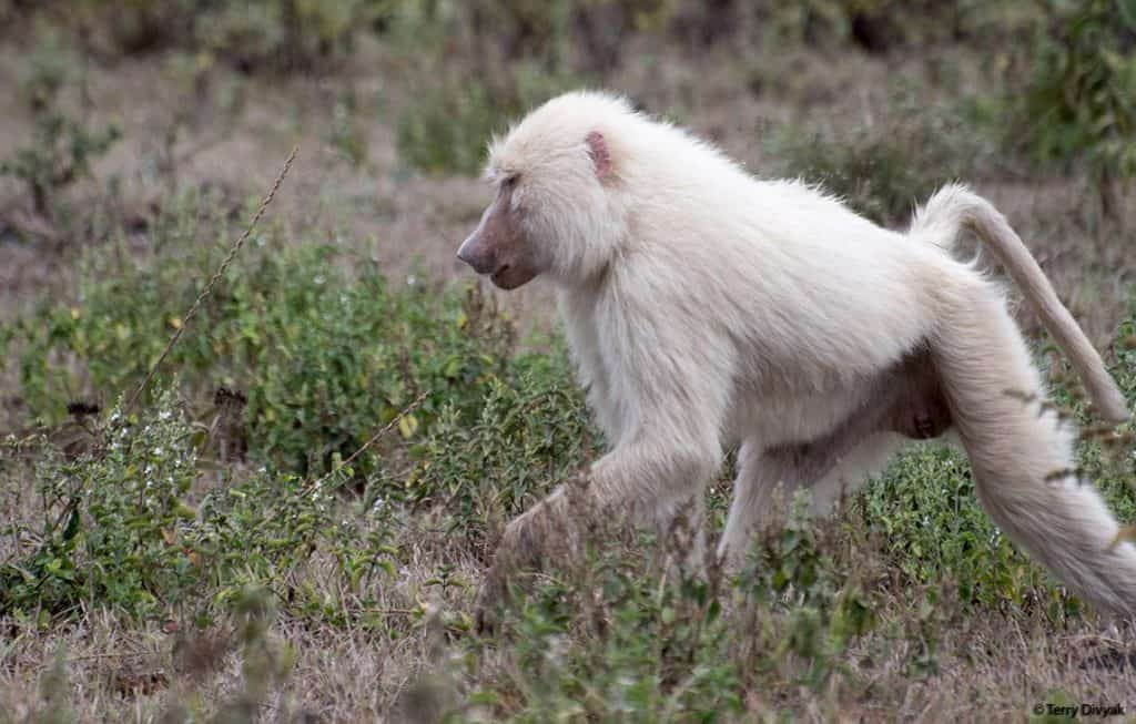 Rare White Baboon © Terry Divyak