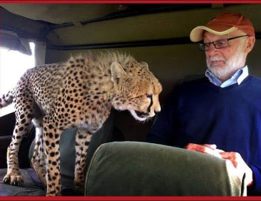 Cheetah in vehicle