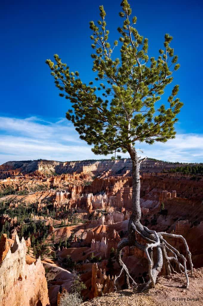 Walking Tree at Bryce Canyon